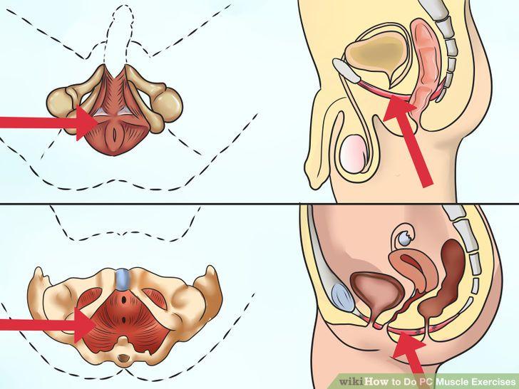 PC-lihase ja vaagnapõhjalihaste asukoht meestel ja naistel.
